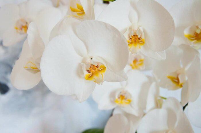 Orchidee - A.Brask
