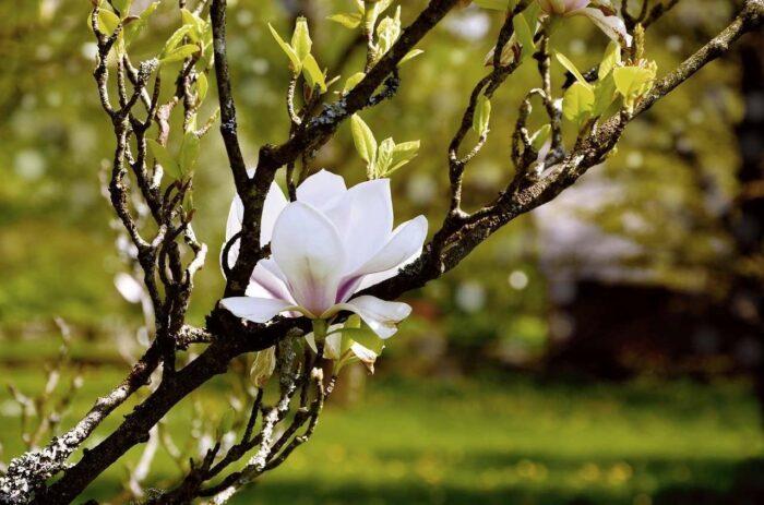 Weiße Blütenmagnolie - A.Brask